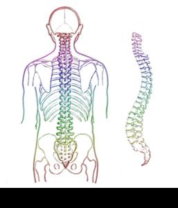 脊柱の機能